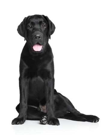Her ses en hund i hvalpe sit. Hunden aflaster dens venstre side ved at lægge størstedelen af dens vægt over på højre side. Når din hund sætter sig ned, skal den sidde lige med bagbenene. Hvis den derimod sætter sig ned til den ene side (også kaldet hvalpe sit), kan det være tegn på smerter. Hvis din hund har ondt i et ben, bagparten eller den nedre ryg, kompenserer den ved at flytte vægten over på den side, der ikke gør ondt. Smerte hund. Har min hund smerter? Har min hund ondt? min hund sidder skævt? hvorfor sidder min hund skævt? hvalpesæde, hvalpesit.