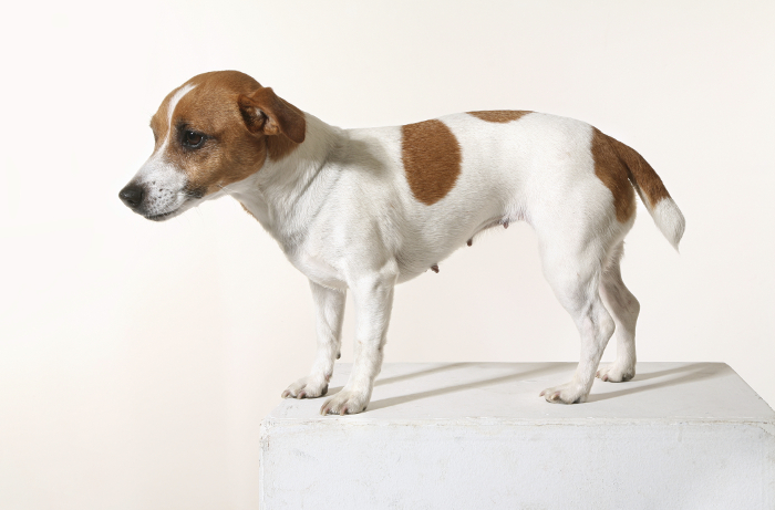 Her ses en hund med dårlig holdning. Ryggen er krum, halen og hovedet holdes nede. Dårlig holdning kan skyldes smerter i bevægeapparatet og kan afhjælpes med kiropraktik. Dårlig holdning. Hund med smerter.