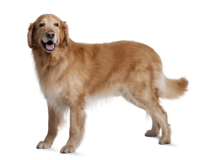 Her ses en hund med god holdning. Rykken er lige og hovedet er løftet. Glad hund uden smerter.