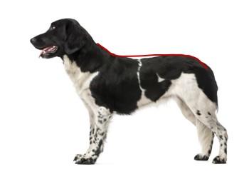 Her ses en hund med en let svajende ryg, der kan være en indikator på en for dårlig kerne-muskulatur. Den røde streg indikerer den optimale holdning. Hund mangler core-muskulatur. Hund med manglende kerne-muskulatur. Svaj i ryggen. Kiropraktik til hund. Holistisk behandling hund. Genoptræning hund.