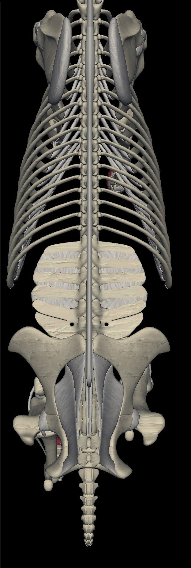 Hestens ryg med færre lændehvivler end hundens samt større overflade og flere ribben. Alt giver en mindre smidighed af rygsøjlen.