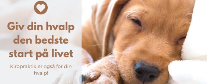 Giv din hvalp den bedste start på livet Kiropraktik og anden manuel behandling er ikke kun for gamle hunde eller hunde med specifikke problemer eller symptomer. Kiropraktik er også for din hvalp